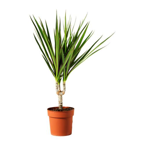 dracaena-marginata-potted-plant__0112750_PE264649_S4